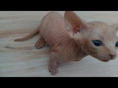 SPHYNX ♥ kittens toy - YouTube