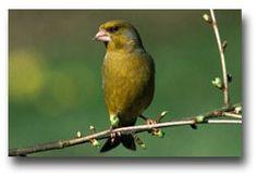 De Groenling komt voor in Europa, Noord Afrika en West Azie. Het formaat van deze vogel is circa 14 tot 15 centimeter. Je ziet deze vogels ook regelmatig in de tuin, het mannetje zijn wat kleurijker dan het vrouwtje en men kan de mannetjes herkennen aan hun zang. Groenlingen zijn zeer vreedzame en sociale vogels, die dus uitstekend samen gaan in een gemengde voliere met andere vogels.