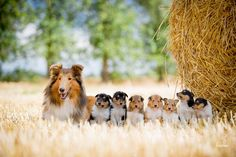 The Shetland Sheepdog originated in the and its ancestors were from Scotland, which worked as herding dogs. These early dogs were fairly Collie Puppies, Collie Dog, Dogs And Puppies, Border Collie, Doggies, Beautiful Dogs, Animals Beautiful, Cute Animals, Dog Pictures