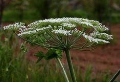 Bu Bitkiyi Gören Asla Dokunmasın | Bilgi Doktoru Dandelion, Flowers, Plants, Dandelions, Plant, Taraxacum Officinale, Royal Icing Flowers, Flower, Florals