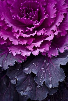 """Faded Glory"" Purple kale or red cabbage, I love all those rich purple shades."