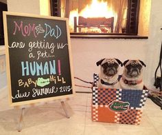 """We are newlyweds and had our dogs in a gator basket with us for our wedding save the dates, so we thought it would be perfect to do the same thing for our pregnancy announcement :) they are our babies now so the sign seemed very fitting!"""