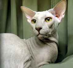 6 Strange Breeds of Hairless Cats | In 1994, Russia graced the world with the creation of the Peterbald – a hybrid between a Russian Hairless (Donskoy) and an Oriental Shorthair female. They have a narrow, long head, webbed feet and a long rat-like tail. Adorable, basically.