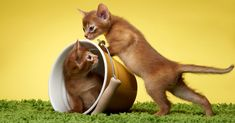 in today's episode, we will talk about the most lovely cat in the world. the Abyssinian cat. let's take a look at history personality and other facts about Abyssinian cats. Abyssinian are elegant medium-sized cats with strong, lithe bodies and long, slender legs. They have round, wedge-shaped heads with distinctive small tufts on the tips of ears and large almond-shaped eyes. The short, close-lying coat of an Abyssinian cat, has a distinctive 'ticked' look caused by bands of colour on each hair. Silly Cats Pictures, Cute Animal Pictures, Dog Pictures, Today Episode, Cool Cats, Cats And Kittens, Planting Flowers, Personality, Cute Animals