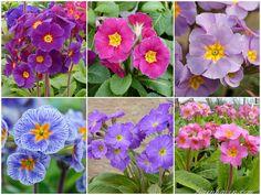 Primula VICTORIAN Plant collection