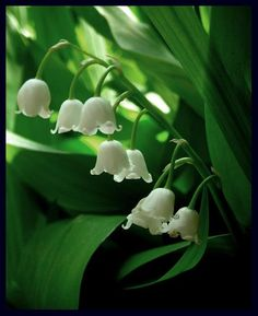 """Muguet. In the """"language of flowers"""", the lily of the valley signifies the return of happiness. Legend tells of the affection of a lily of the valley for a nightingale that did not come back to the woods until the flower bloomed in May."""