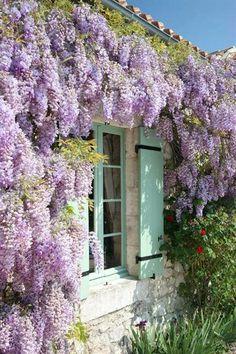 wisteria vine