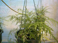 Asplenium haurakiense - Fronds New Zealand, suppliers of native New Zealand ferns, nz plants, nz trees, nz shrubs, landscaping ferns, nz ponga, nz ferns, exotic ferns, nz tree ferns, nz ground ferns, nz ponga pots, nz ponga troughs.