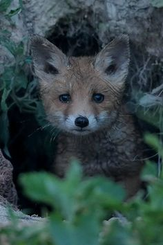 Red fox kit  pic by tulipnight