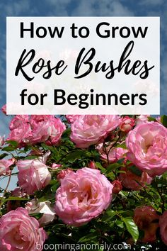 Rose bushes make a great addition to just about any garden. Learn how to care for a variety of roses in this post. Click on pin to read more about how to grow rose bushes for beginners. #rosebushes #rosebushescare #howtocareforrosebushes #rosebusheslandscapeideas Rose Bush Care, Rose Care, Beautiful Flowers Garden, Amazing Flowers, Gardening For Beginners, Gardening Tips, Floribunda Roses, Types Of Roses, Hybrid Tea Roses