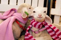 :) Hahaha. Baby sheep! In scarves! Smile :)