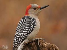 Red-bellied Woodpecker - Wild DelightWild Delight