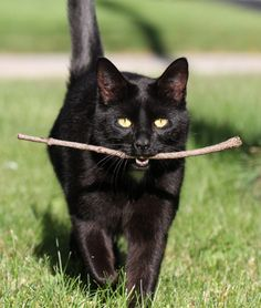 "thecatart: "" Cat fetching a stick Photograph cat pictures art "" all our cat families have fetched...not on command... but they knew if they brought something back we would throw again <3"