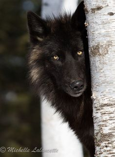 1000+ ideas about Black Wolves on Pinterest | Wolves, Gray Wolf and Timber Wolf