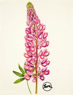 Lupin tirage d'Art crayon dessin fleur de rose par BunPrint