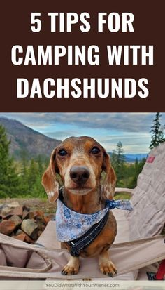 5 Tips for Camping with Dachshunds: I've been camping with my Dachshunds for over 15 years. These are some of my top tips to ensure you have a good time in the woods with your wiener dog, whether you are going by yourself or with a group. Dog Breeds Little, Best Dog Breeds, Modern Dog Toys, Seattle Dog, Food Dog, Flying Dog, Corgi Dog, Husky Dog, Dog Friendly Hotels