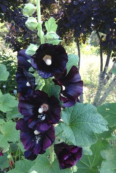 Black Hollyhock Seeds Alcea rosea nigra Heirloom Hollyhocks Cottage Garden Flower Seeds
