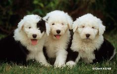 Old English Sheepdog puppies at 8 weeks.  They are the canine version of baby pandas--unbearably cute.  Who wouldn't want one, even though they're not the smartest thing on four paws.