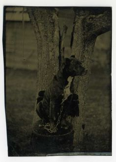 HANDSOME FINE CHAINED PIT BULL DOG IN A CHAIR 1870s OUTDOOR ABSTRACT TINTYPE