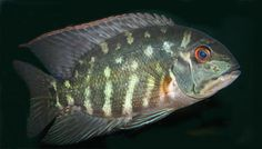HECKEL, Common Name: Parrot Cichlid Freshwater Aquarium, Aquarium Fish, South American Cichlids, Discus, Water Life, Angel Fish, Beautiful Fish, Aquascaping, Aquariums