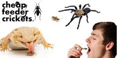 Nowadays, as more and more people are turning out to be health conscious,it is possible to order live feeder crickets online. T o know more visit @