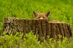 You can't see me, right? Fox hiding.