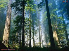 Coastal Redwoods ~ Northern California
