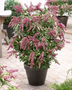Buy lily-of-the-valley shrub Pieris japonica Passion (PBR) - A new red-flowered form: 2 litre pot: Delivery by Crocus Garden Shrubs, Patio Plants, Tall Plants, Garden Plants, Container Plants, Container Gardening, Gardening Tips, Flowers Perennials, Planting Flowers