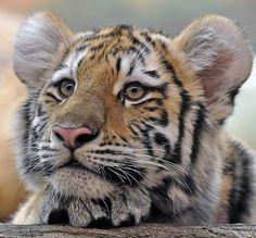 Amur (Siberian) Tiger Cub - http://www.1pic4u.com/tierbilder/tiger/amur-siberian-tiger-cub-2/