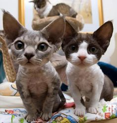 Omg the grey one looks exactly like my dead Devon Rex kitty Beatrix ☹and the black and white one looks exactly like my new Devon Rex kitty Ripley Cute Cats And Kittens, I Love Cats, Crazy Cats, Cool Cats, Kittens Cutest, Ragdoll Kittens, Tabby Cats, Bengal Cats, White Kittens