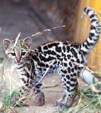 Margay as a Baby | Wolf's 'r' Us - Midnight's Carryies