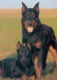 Beauceron Tough Dog Pictures