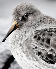 Beautiful Purple Sandpiper