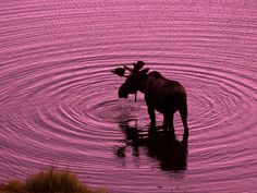 Water #moose #viqua