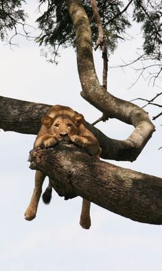 Lazy lion. African safaris really are a great experience, why not see the lion king wildlife for yourself. Timbuktu Travel.