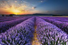 O amanhecer nos campos de lavanda de Valensole, na França.