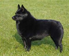 Beautiful Schipperke - I had 2 of my own... Buffy and Happy.  My family had Skipper, Dolly and Ben