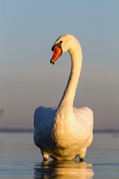 Swan - Close up of a swan at sunset light