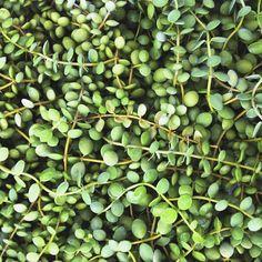 String of Nickels (Dischidia nummularia)   My Garden Life