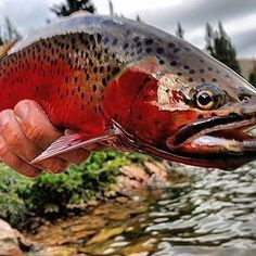 Repost @flyfish_colorado ・・・ Catching cutthroat in a thunderstorm⛈️ . . #flyfishcolorado #flyfishing #flyfish #colorado #flyfishingjunkie #flyfishingnation #trout #troutfishing #catchandrelease #catchyourfishintheface #keepemwet #troutbum #wadeforit #onthefly #simmsfishing #sageflyfishing #orvisflyfishing #orvis #patagoniaflyfishing #fishpondusa #tackyflyfishing #trouthunter #sitkagear #trouthog #riverambassadors #Regram via @backcountryflyfisher