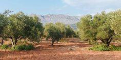 Πολλαπλασιασμός της ελιάς με φυλλοφόρα μοσχεύματα | Τα Μυστικά του Κήπου Country Roads