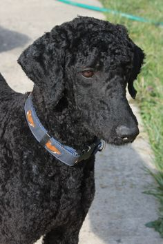 Poodle trim, face & ears & short all over