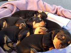 Sleeping black and tan dachshund puppies