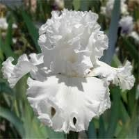 Image result for bearded iris MY BELOVED