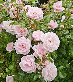 New Dawn  Climbing roses can be just as fragrant as their bushy cousins -- a fact proven by gorgeous 'New Dawn'. It features big, soft-pink flowers throughout the summer. Be sure to give 'New Dawn' plenty of room to climb!  Size: To 20 feet tall and 10 feet wide  Zones: 5-9:::::I have these in my back yard and they bloom profusely from early spring til winter snowfall.