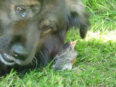 My dog Grizz and Carlos, a baby robin we rescued
