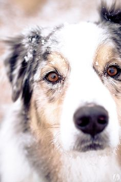Australian Shepherds love the snow like Samiiiiiiiiiiiiiiiii my old doggy ooo All Dogs, I Love Dogs, Best Dogs, Australian Shepherds, Cute Puppies, Cute Dogs, Dogs And Puppies, Blue Merle, Beautiful Dogs