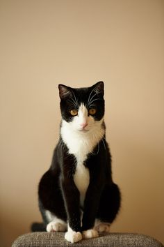 . cute tuxedo cat.   kitty..