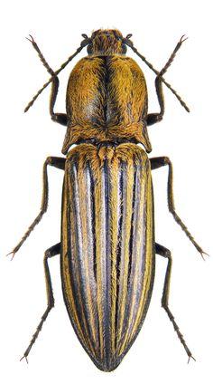 Haplotrichus baeri