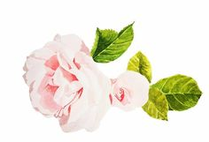 #roses #pink #flowers #beauty #art #watercolour #watercolor #painting #nature #brigitteklassenart